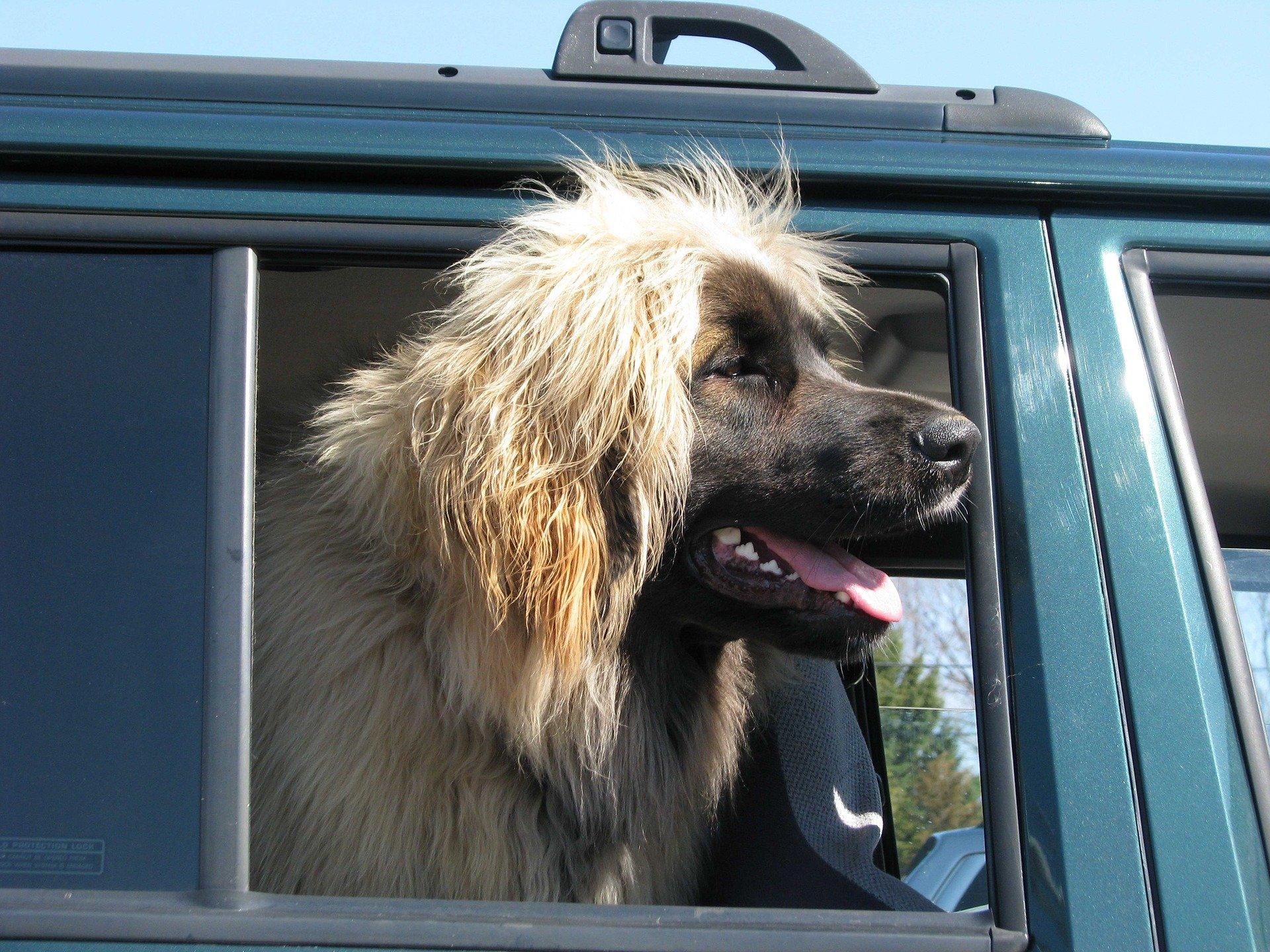 Grossi cani pelosi: caratteristiche e razze