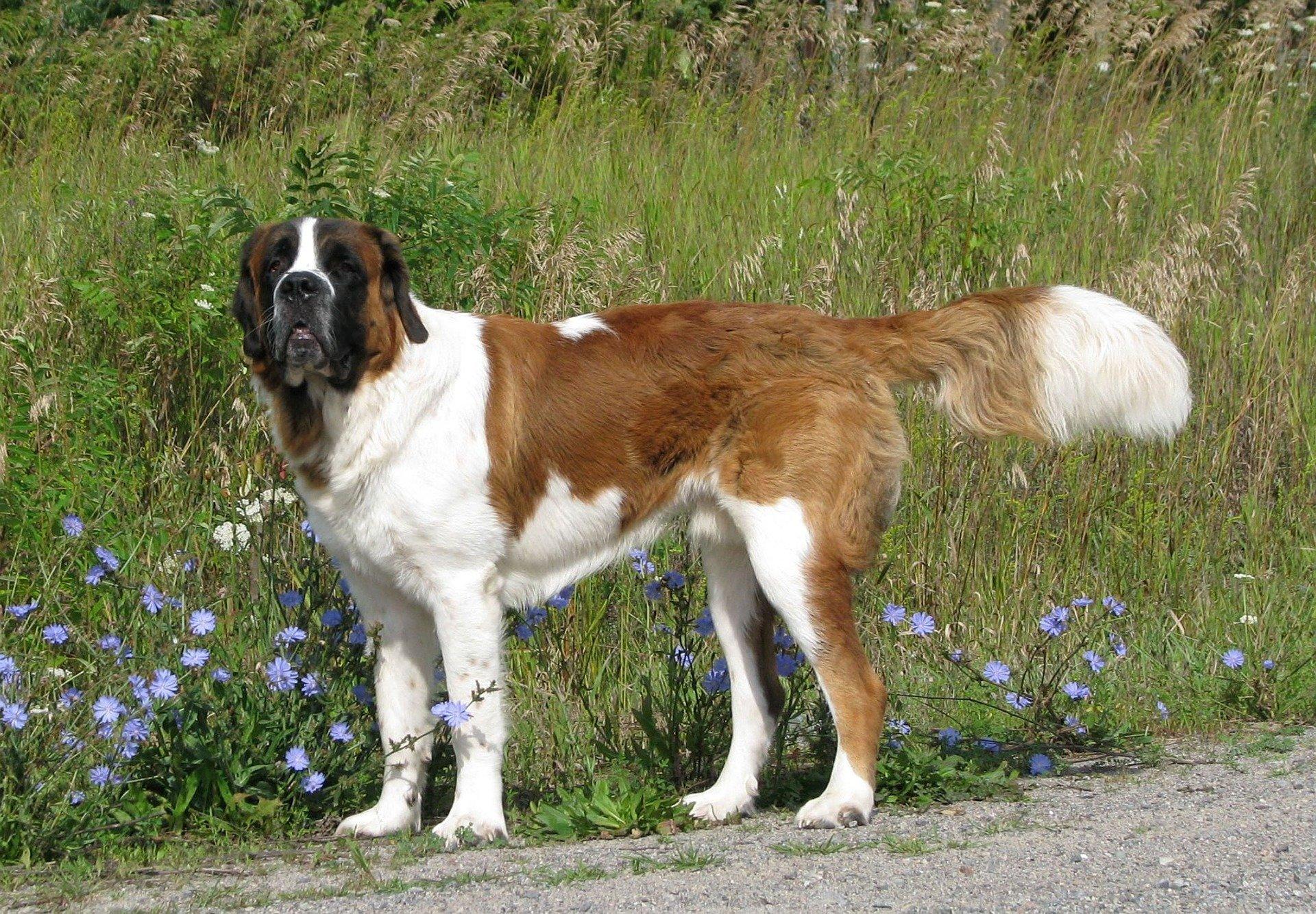 Cani molossi: tutte le caratteristiche dei cani di grossa taglia