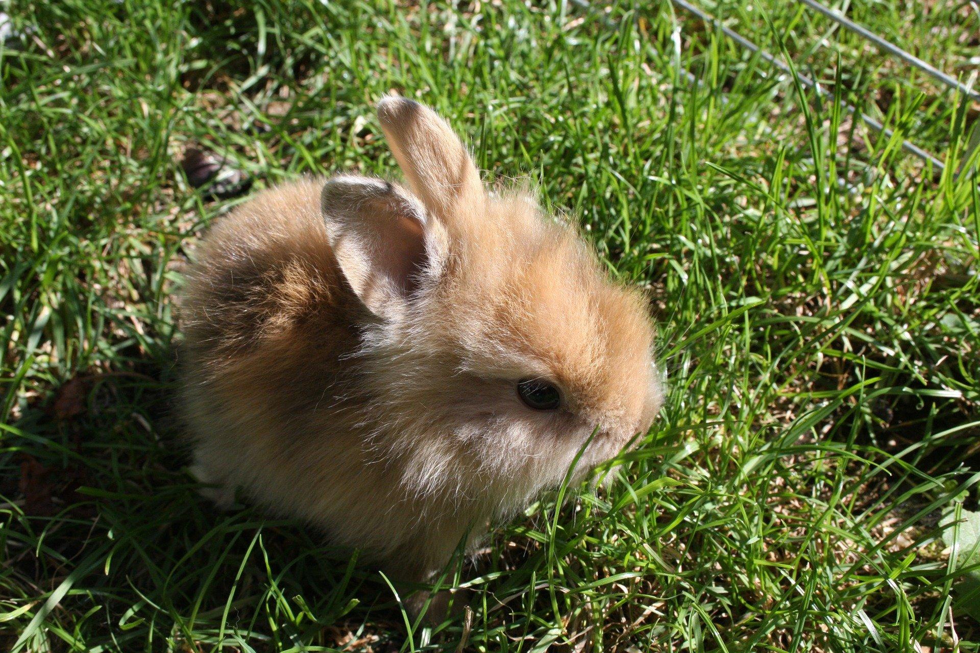 Coniglio nano: Un piccolo animale domestico