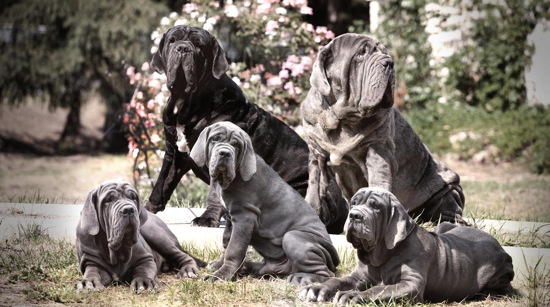Razas de perros: Mastin Napolitano fuerza y valentía en un solo perro