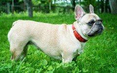 Cane Bulldog francese, tutte le caratteristiche