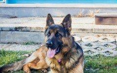 Cane da guardia: come proteggere la proprietà