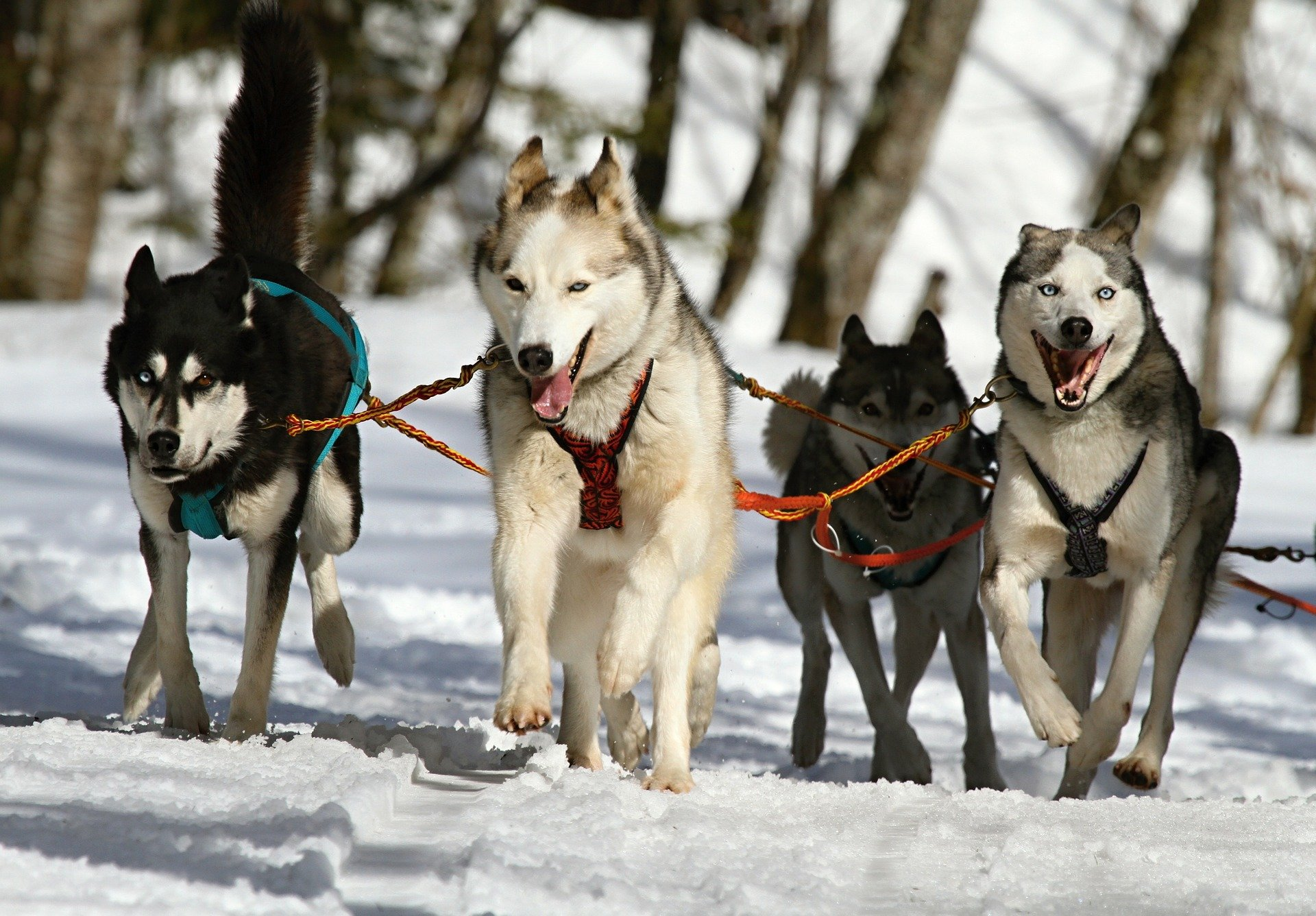 Maltrattamento degli animali: protesta contro corse cani da slitta
