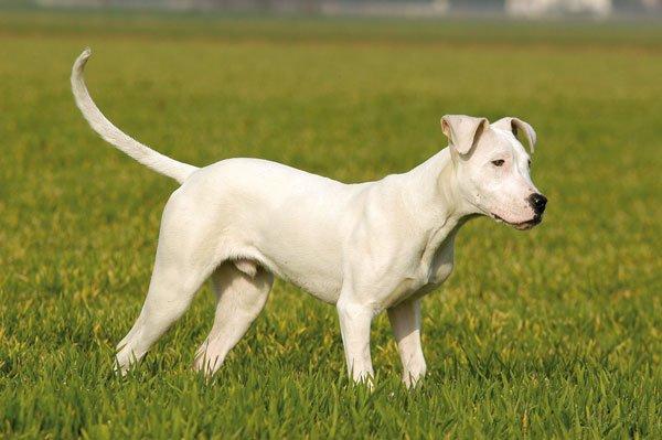 Razas de Perros: Dogo Argentino caracteristica y cuidados