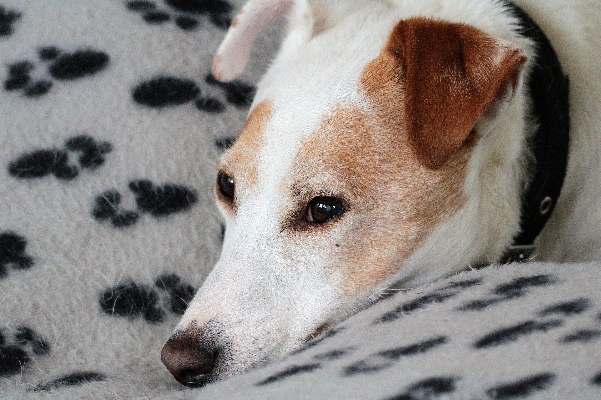 Pannolini per cani: come e quando usarli