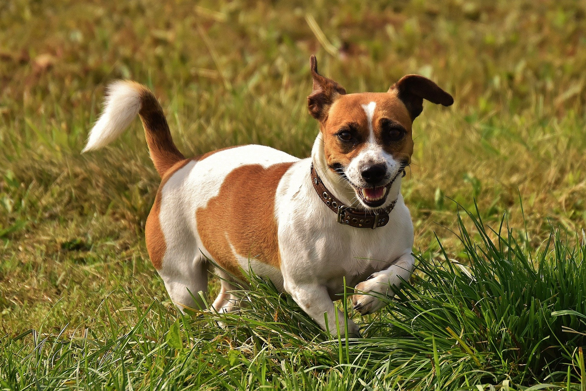 Cane di the mask: il Jack Russell terrier