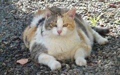 Gatti obesi: prevenzione e risoluzione del problema