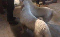 Hotel Rigopiano: i cani Lupo e Nuvola sono salvi
