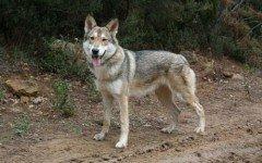 Razze di cani: cane lupo di Sarloos carattere e caratteristiche