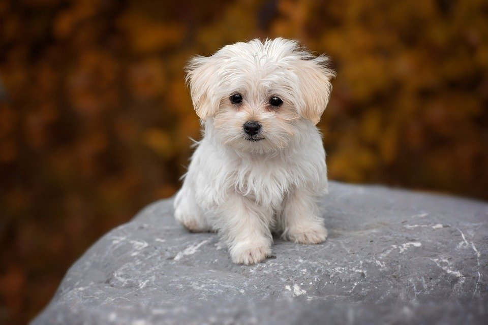 dog breeds maltese temperament and personality dogalize