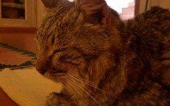 Morto Ogghy: il gatto tornato a casa a Firenze dopo due anni