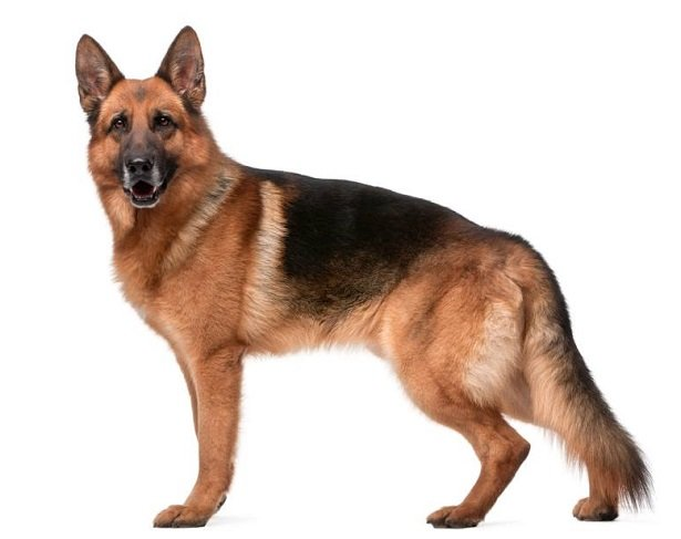 Razas de Perros: Pastor Aleman caracteristicas y cuidados