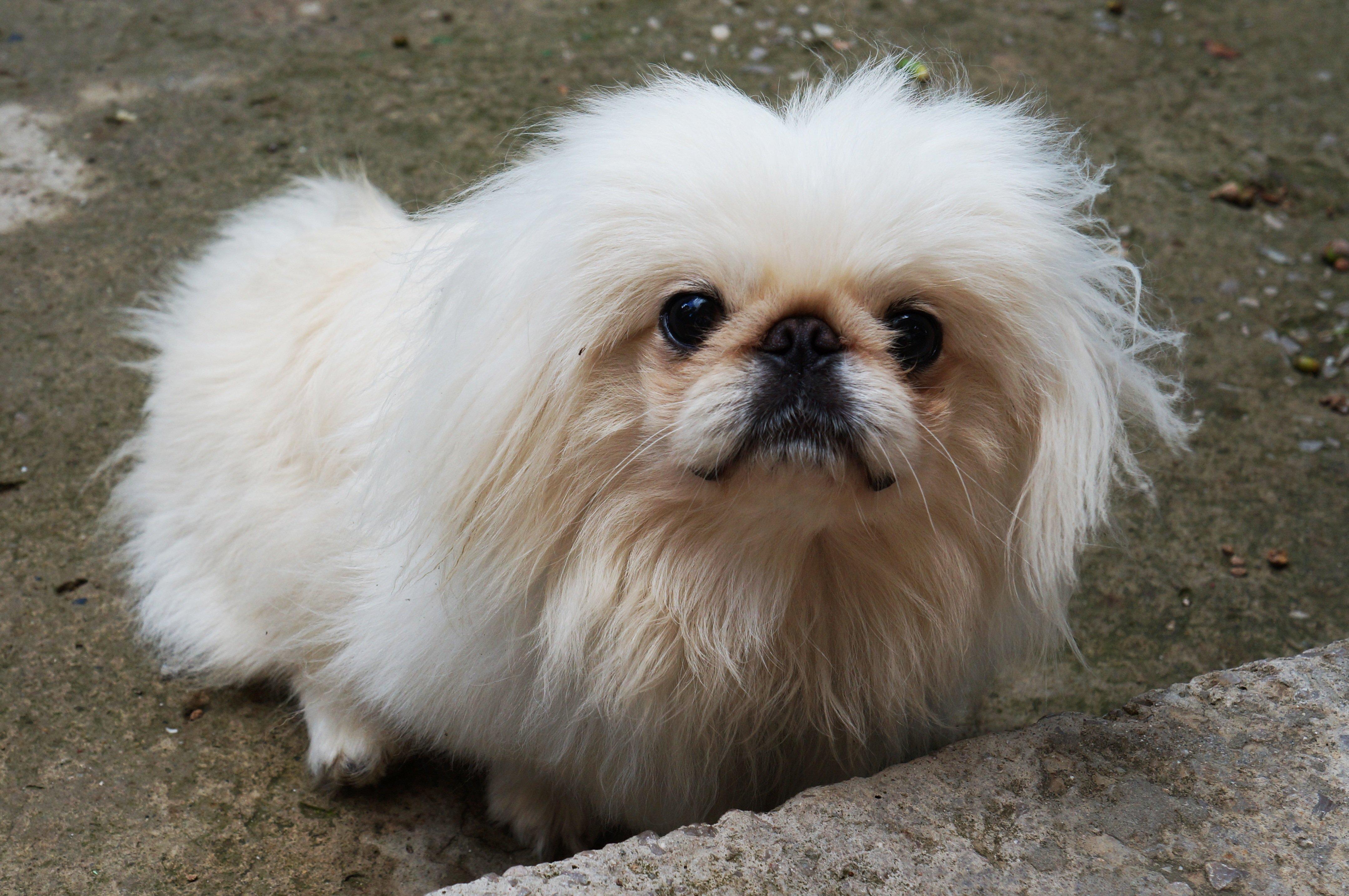 Cura del cane pechinese: il bagno e la pulizia