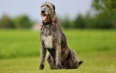 perro lobero irlandes