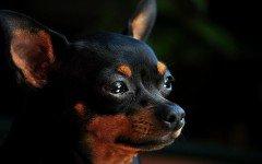 Cura del cane pinscher: la toelettatura e l'alimentazione