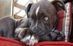 La commovente lettera di un cane da combattimento