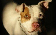 Combattimenti tra cani: la legge e i divieti
