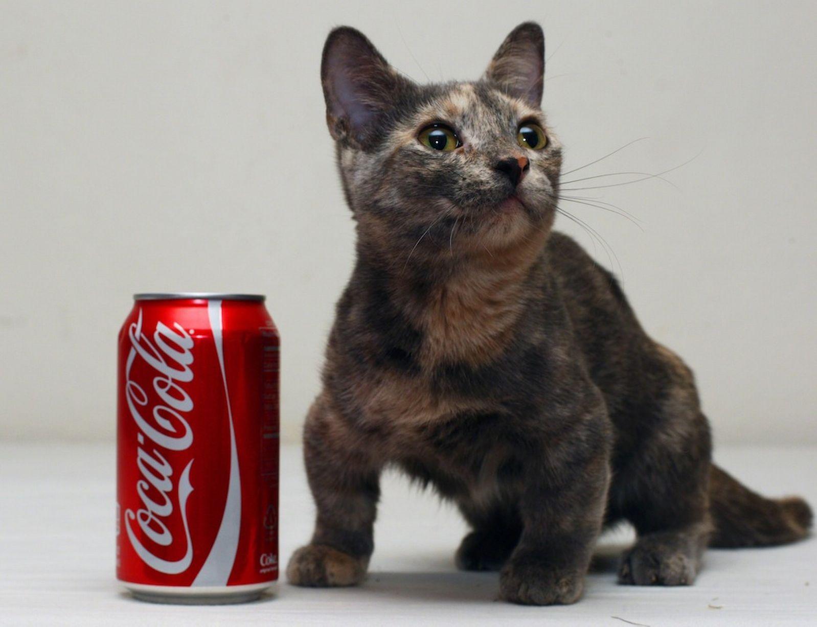 Gatto più piccolo del mondo: si tratta di Pixel