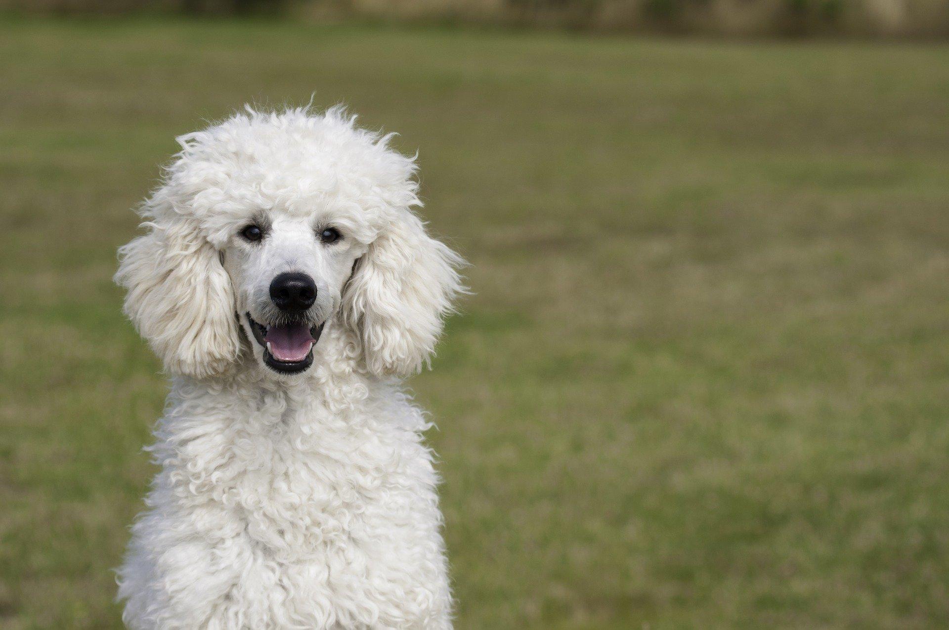 Cura del cane barboncino: toelettatura e alimentazione
