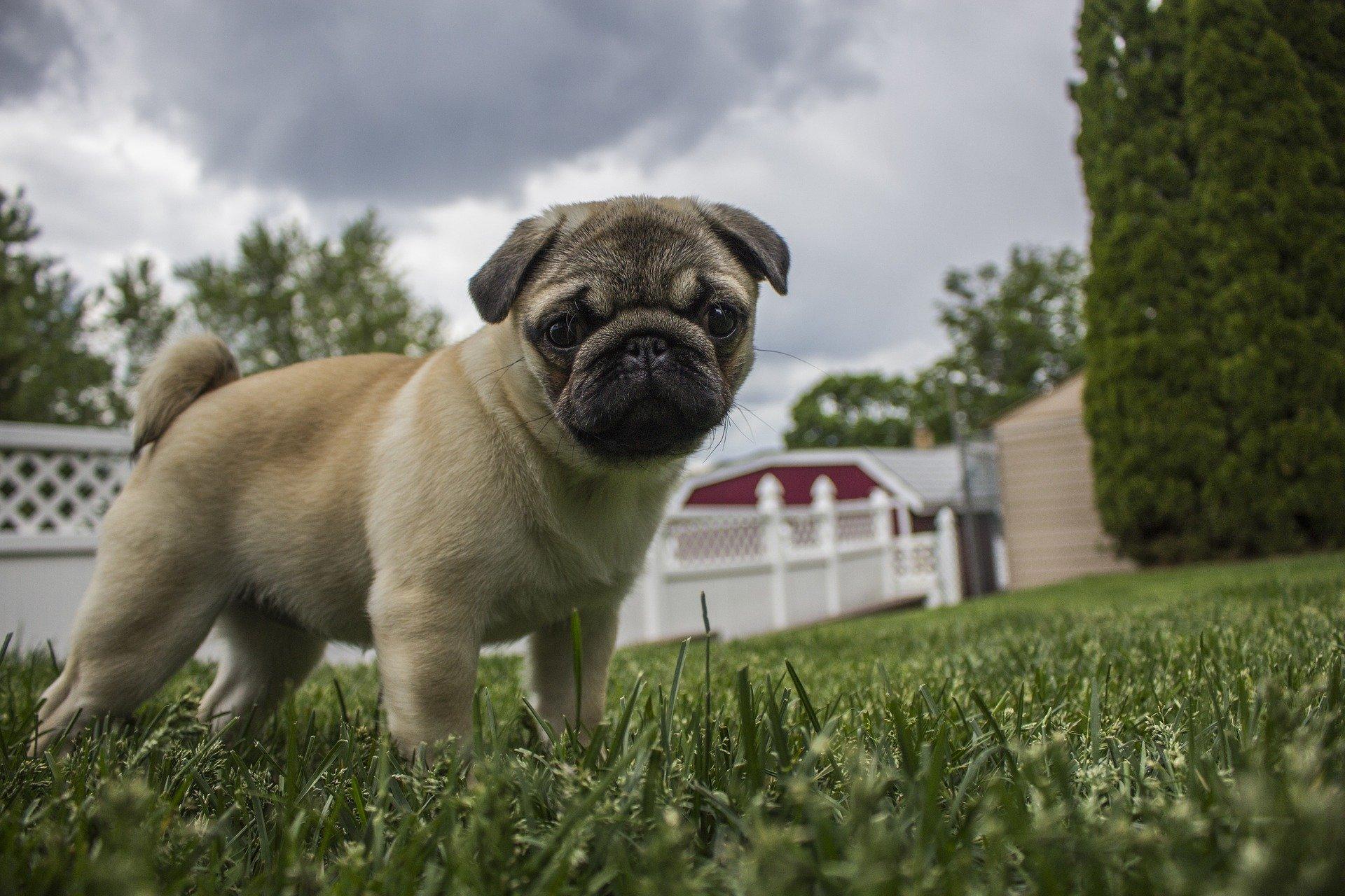 Cura del cane carlino: la toelettatura e l'alimentazione