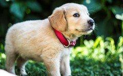 alergias cutaneas en perros