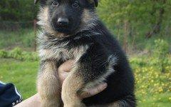Cura dei cuccioli di pastore tedesco: alimentazione
