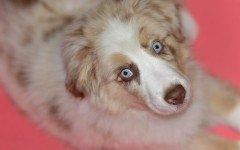 Cane australiano: tutte le caratteristiche