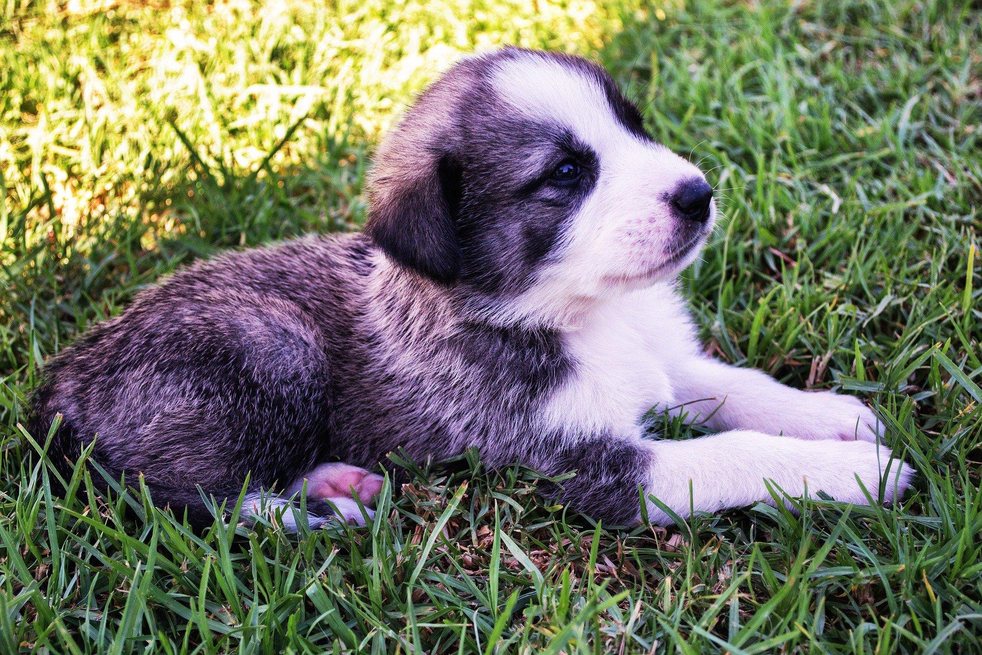 cane da pastore dell'Asia centrale caratteristiche