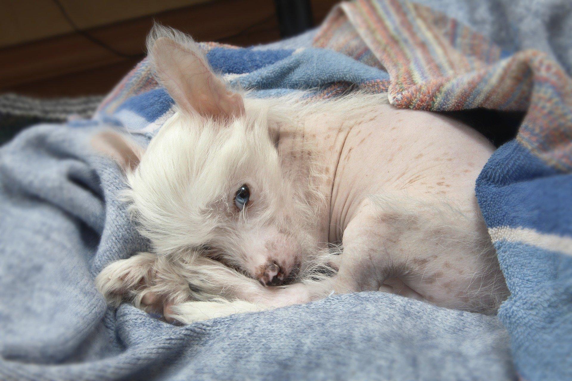 Razze di cani: tutte le razze di cani senza pelo