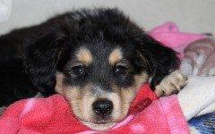 Febbre nel cane: quali sono i sintomi e le cure