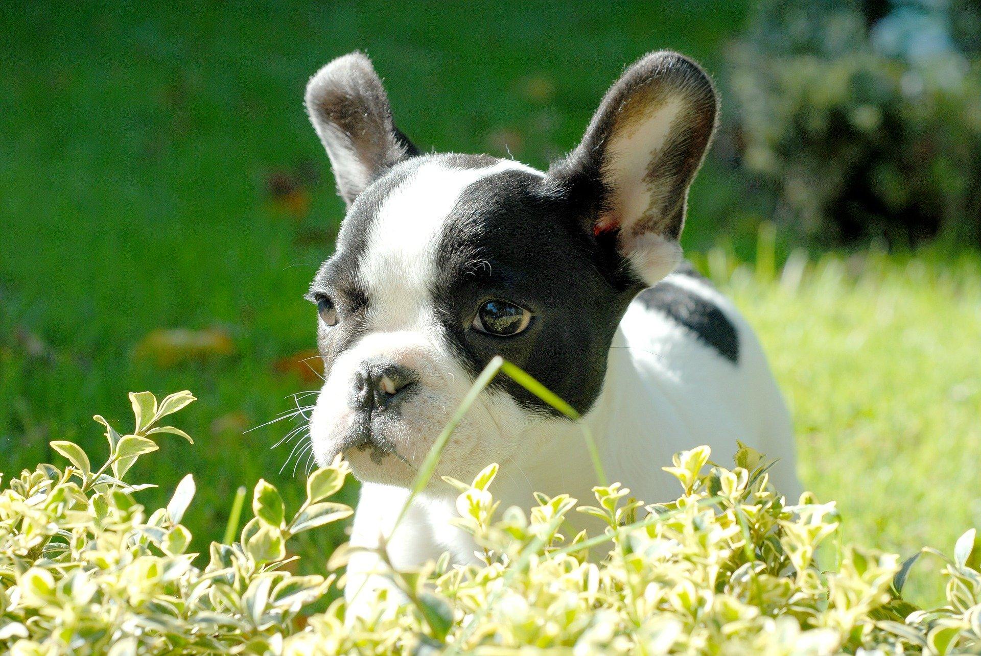 Dermatite atopica nel cane: le cause e le cure