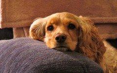La nefropatia familiare nel cane come scoprire questa malattia