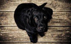 Congiuntivite del cane: i sintomi e le cure