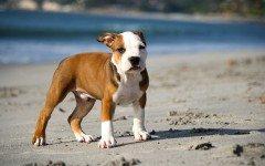 Cura del cane pitbull: alimentazione e toelettatura