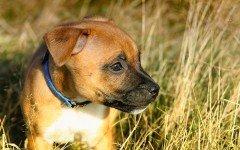 Tagliate le orecchie ai cani e pubblicate le foto sul web