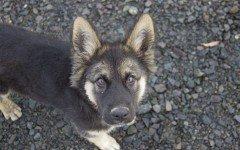 Il nanismo ipofisario nel cane sintomi e prognosi della malattia