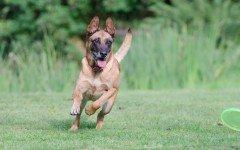 Razze cani: il cane Pastore Belga Malinois, carattere e prezzo