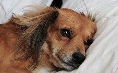 Enfermedades Caninas: Leucemia canina sintomas