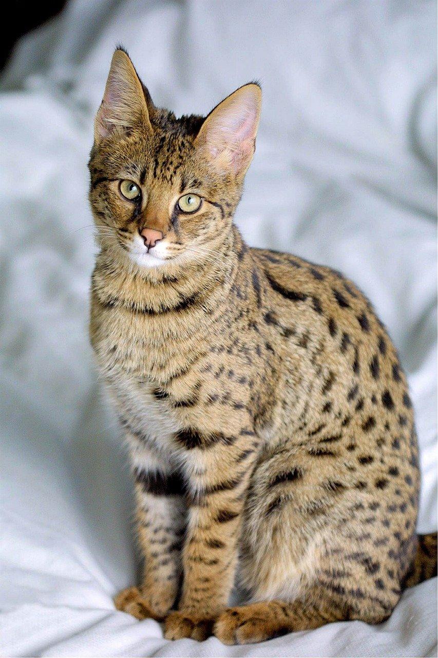 Gatto raro: le sue caratteristiche e le razze di gatto