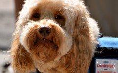 Come addestrare un cane per ciechi e per difesa personale