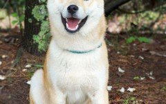 Dog breeds: Akita temperament and personality