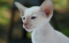 Gatto bianco occhi azzurri, razze e caratteristiche