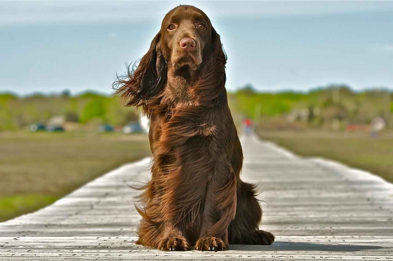 perro spaniel de campo
