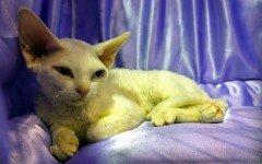 Gatti senza pelo: la nascita di una nuova razza