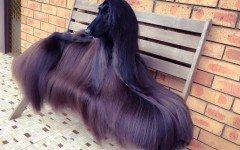 Il cane più bello del mondo: Tea un Levriero afgano