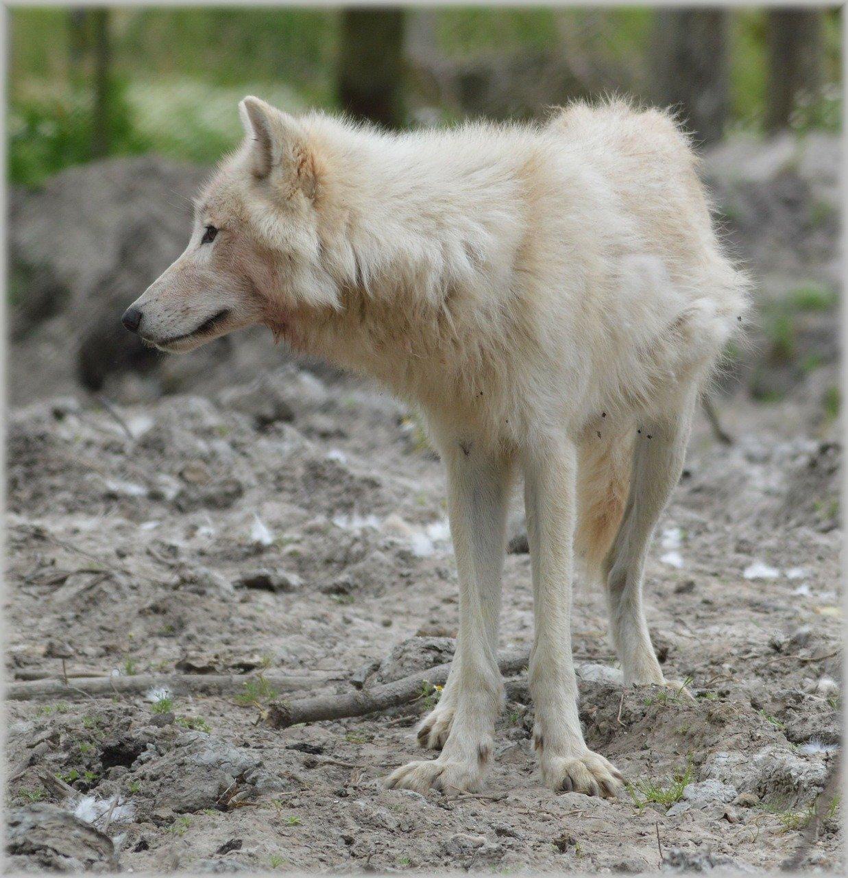 Cane lupo bianco aspetto, carattere e caratteristiche