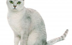 gato Burmilla