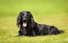 Razas de Perros: perro Cobrador de Pelo Liso caracteristicas