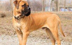 Razas de Perros: Bullmastiff caractaracterísticas y cuidados
