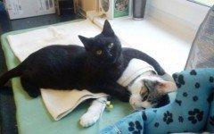 Gato enfermero cuida de los demás animales del refugio